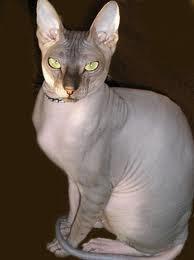 Сфинкс (Лысая кошка)