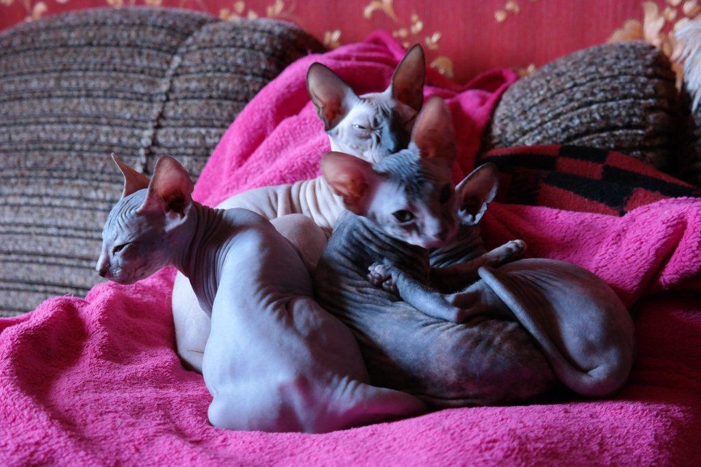 Сфинкс (Лысая кошка) - Донской сфинкс - моя любовь!