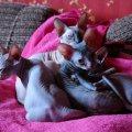 Отзыв о Сфинкс (Лысая кошка): Донской сфинкс - моя любовь!
