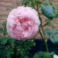 Отзыв о Интернет-магазин саженцев LeafLand.com.ua: Розы от лифленда!