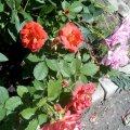 Отзыв о Интернет-магазин саженцев LeafLand.com.ua: Моя клубничка и розочки  от leafland=)